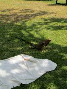 Big iguana chased us off our towel!
